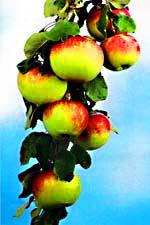 Яблоня. Природа Казахстана