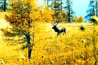 Maral Farm. Deer